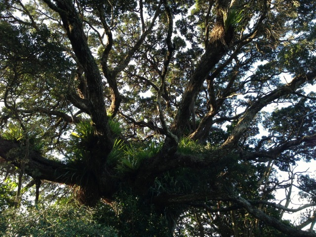cathedral cove grandmother tree