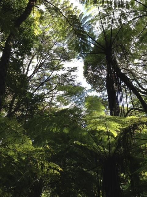twin kauris forest walk