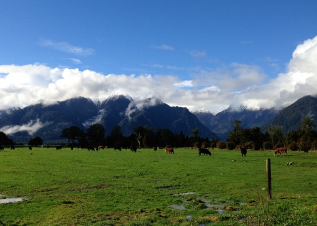 cows grazing with views to fox glacier