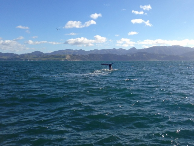 sperm whales at kaikoura