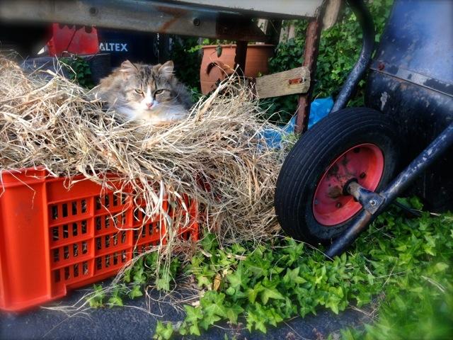 gypsy the camo kitty