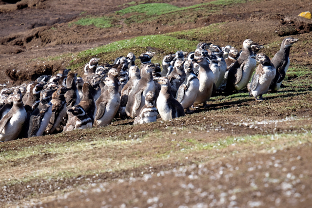a waddle of magellanic penguins trying to decide which way to go next