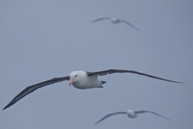 black-browed albatross in the fog on the way to The Falklands