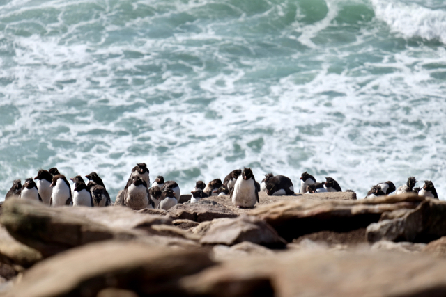 rockhoppers clinging to the cliff edge