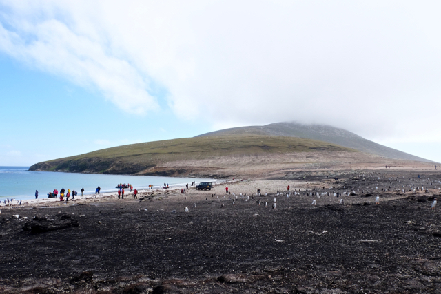 the neck of Saunders Island is a large gentoo rookery