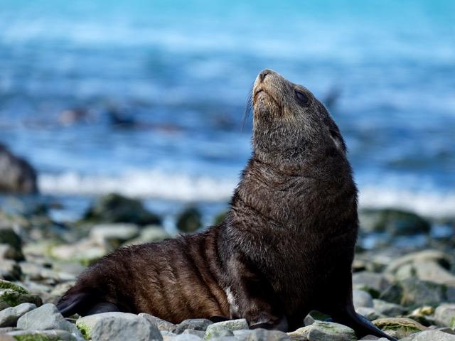 Antarctic fur seal posing for me