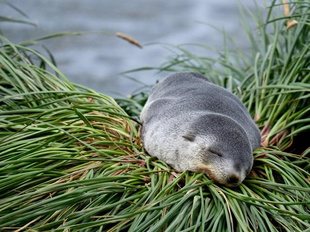 Antarctic fur seal pup asleep on tussock grass