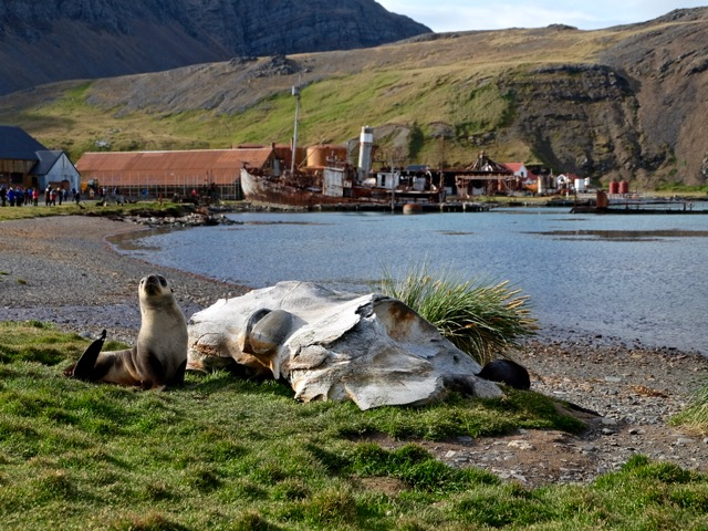 Grytviken, a seal and a whale bone with blowhole