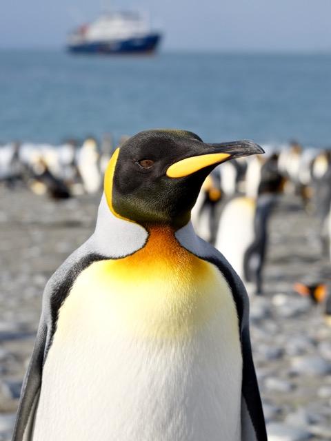 I am a beautiful king penguin