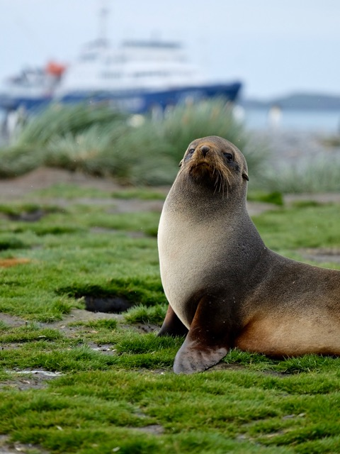 Plancius and a fur seal at Salisbury Plain
