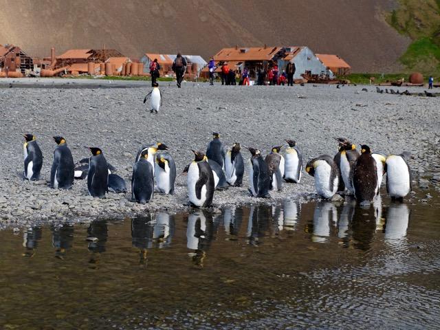 king penguins at Stromness a deserted whaling station