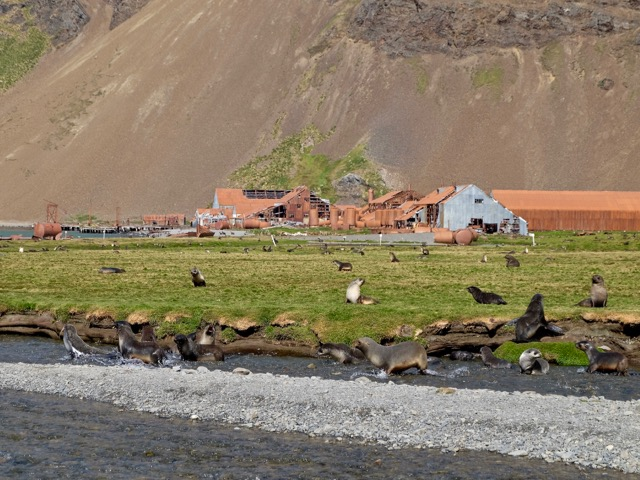 romping fur seals at Stromness a deserted whaling station