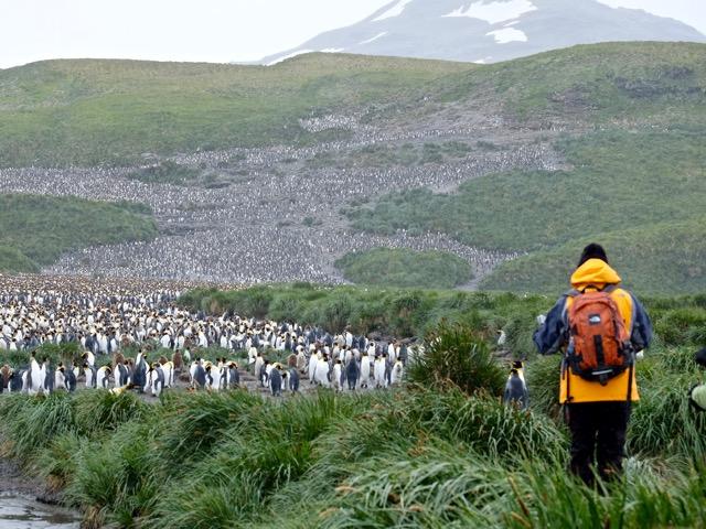king penguins as far as the eye can see on Salisbury Plain