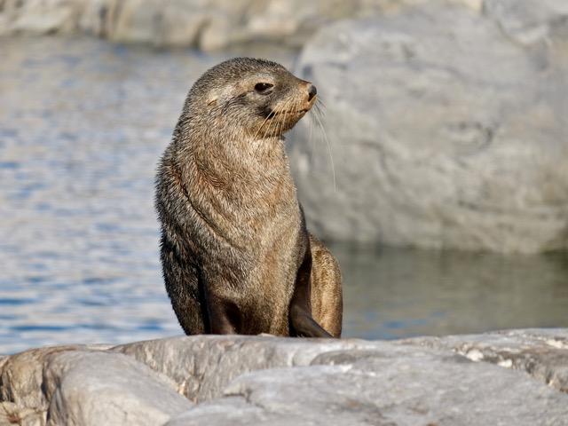 Antarctic fur seal sunbathing