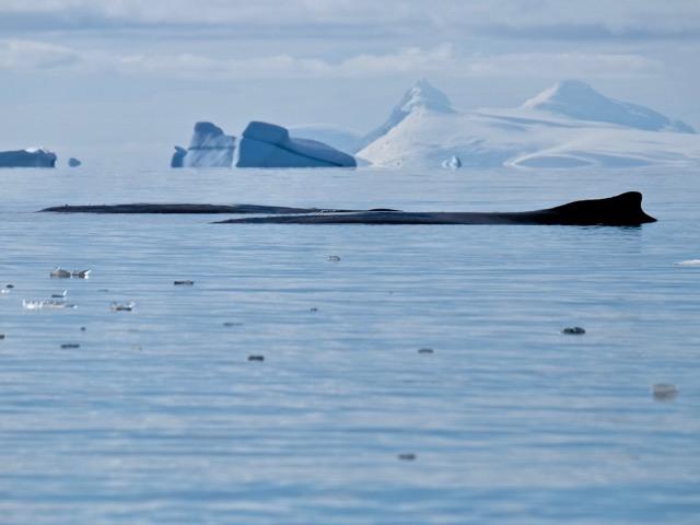 humpbacks just floating around