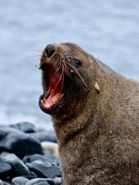 see what big teeth I have said the Antarctic fur seal
